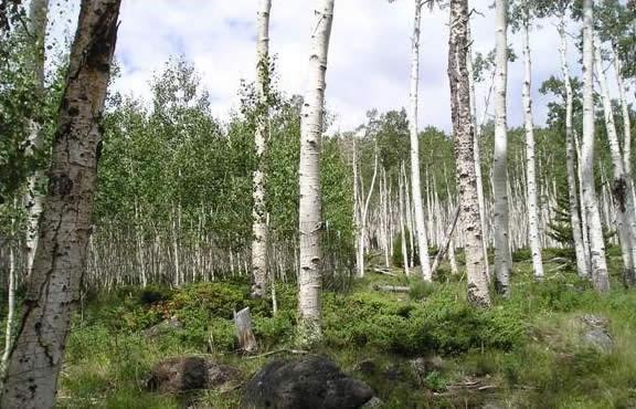 Осиковий ліс Пандо. Тремтячий гігант (1)