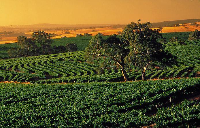 Долина Баросса - центр виноробства Австралії (8)
