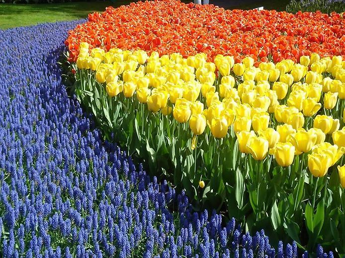 Буяння кольорів. Квіткові сади Кекенхоф (3)