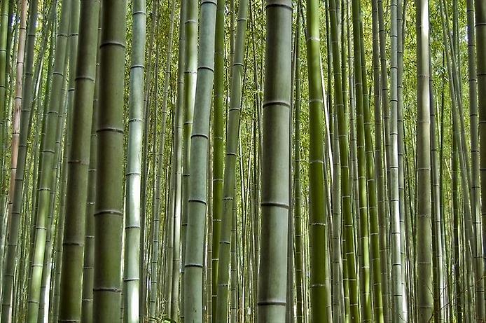 Бамбуковий ліс Саган (6)