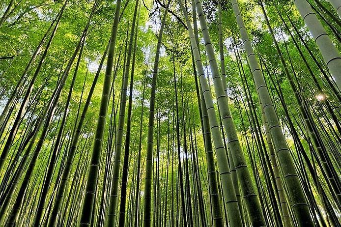 Бамбуковий ліс Саган (5)