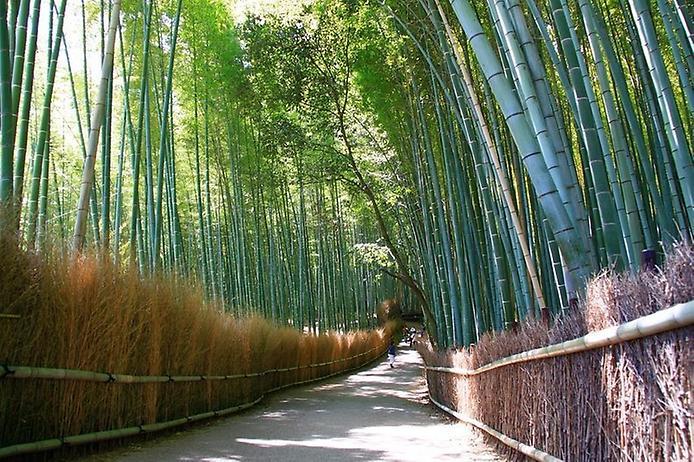 Бамбуковий ліс Саган (2)
