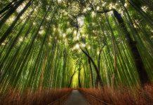 Бамбуковий ліс Саган (1)