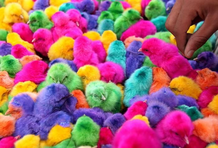 Йорданія. Розфарбовані курчата продаються на ринку напередодні Великодня