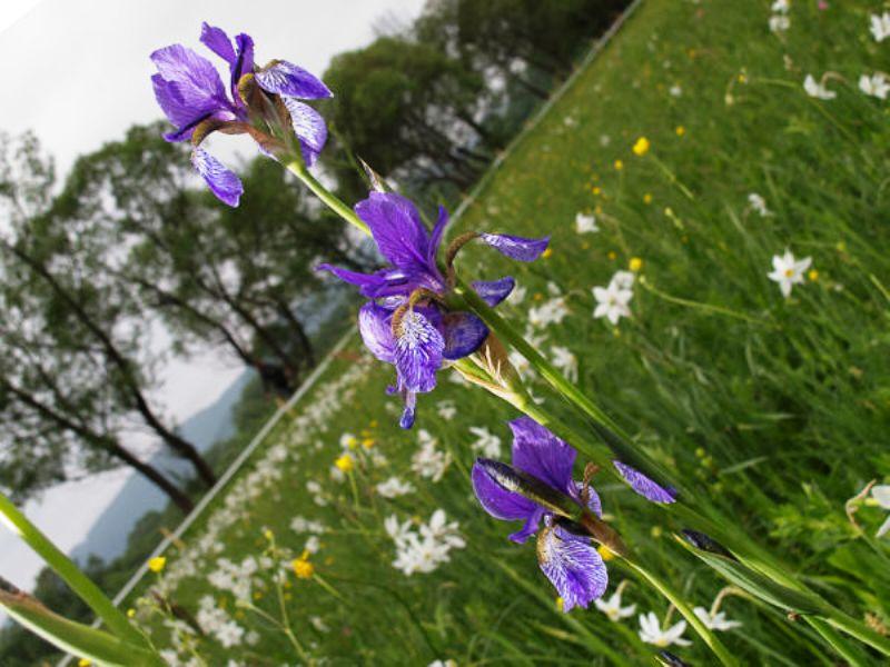 А так у Долині нарцисів квітнуть півники сибірські фото: Alla Hayatova