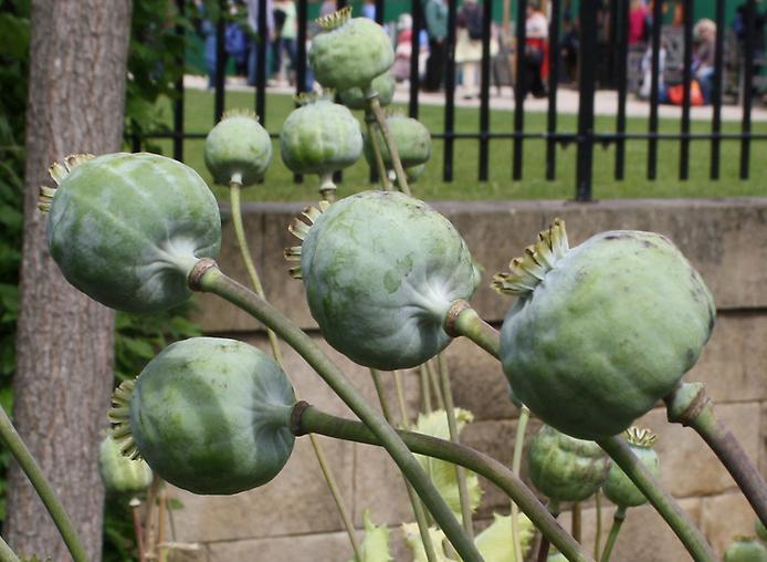Сад отруйних рослин Альнвік (2)