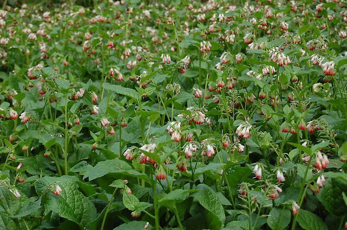 Сад отруйних рослин Альнвік (3)