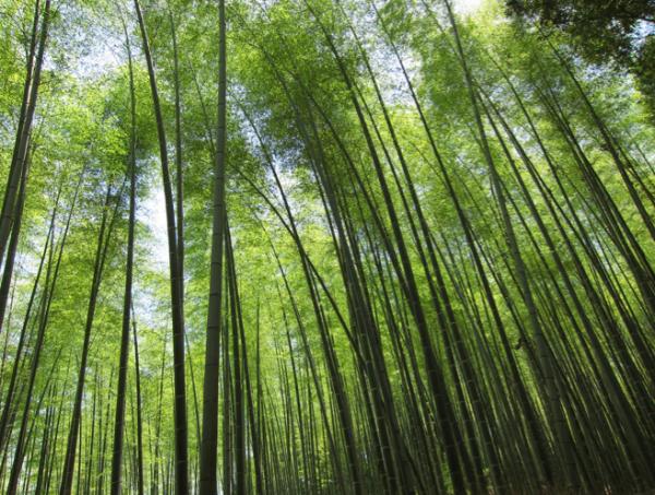 Красивий бамбуковий ліс Кіото (6)