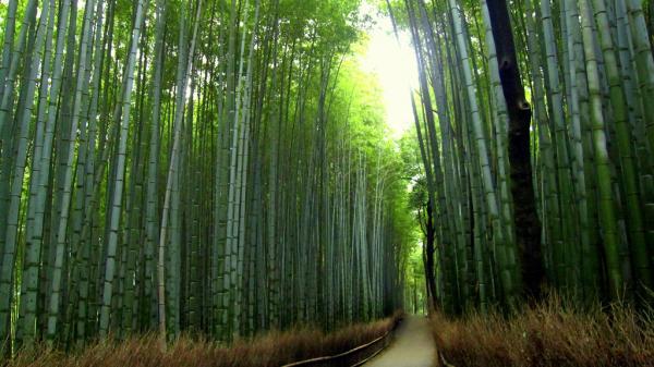 Красивий бамбуковий ліс Кіото (2)