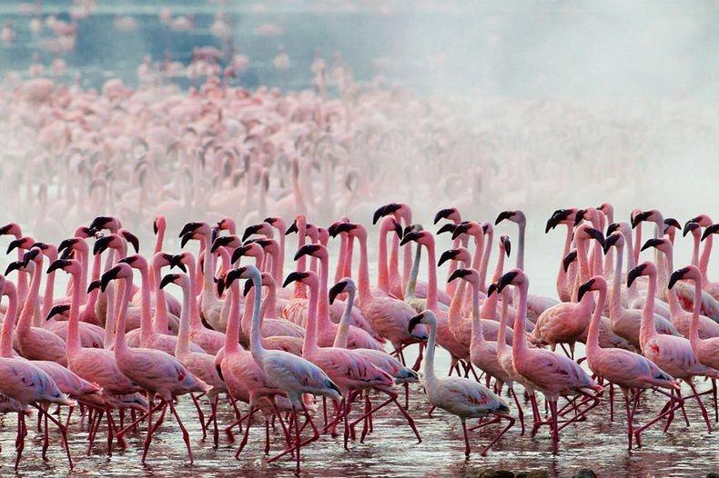 Рожеві фламінго озера Накуру в Кенії (7)