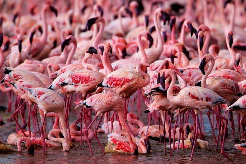Рожеві фламінго озера Накуру в Кенії (3)