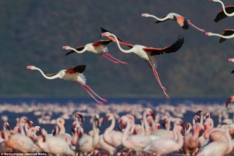 Рожеві фламінго озера Накуру в Кенії (2)