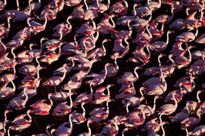 Рожеві фламінго озера Накуру в Кенії (6)