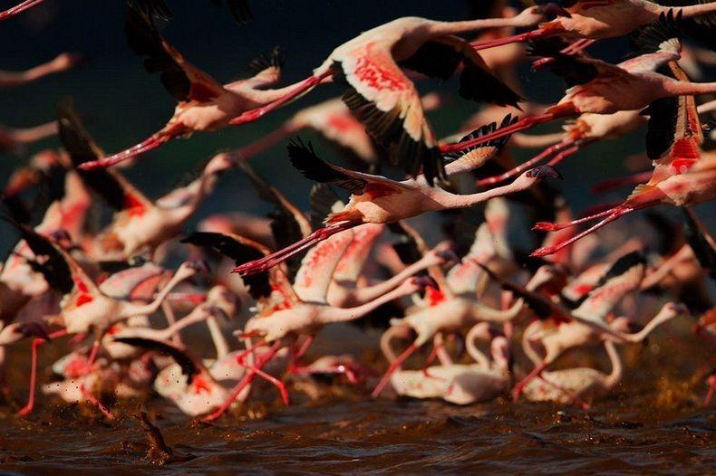 Рожеві фламінго озера Накуру в Кенії (5)