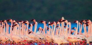 Рожеві фламінго озера Накуру в Кенії (4)