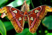Найбільший в світі метелик живе в Гімалаях (1)