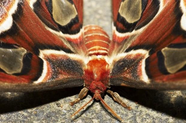 Найбільший в світі метелик живе в Гімалаях (3)
