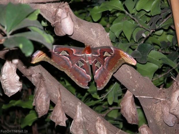 Найбільший в світі метелик живе в Гімалаях (4)