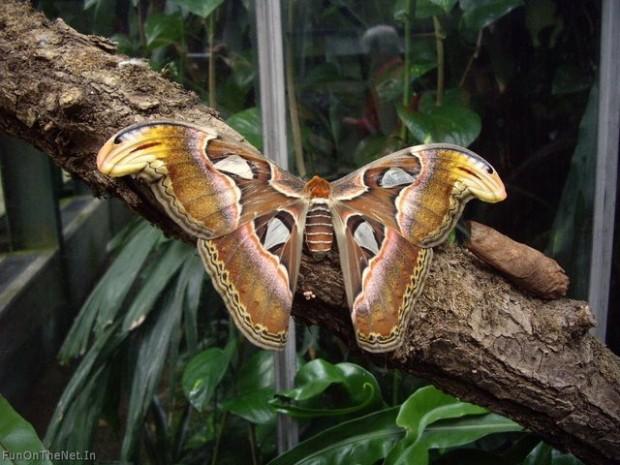 Найбільший в світі метелик живе в Гімалаях (2)