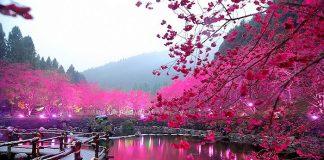 Фестиваль квітучої вишні. Дивовижне свято Cherry Blossom в Тайвані (1)