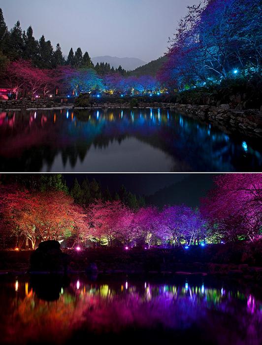 Фестиваль квітучої вишні. Дивовижне свято Cherry Blossom в Тайвані (2)