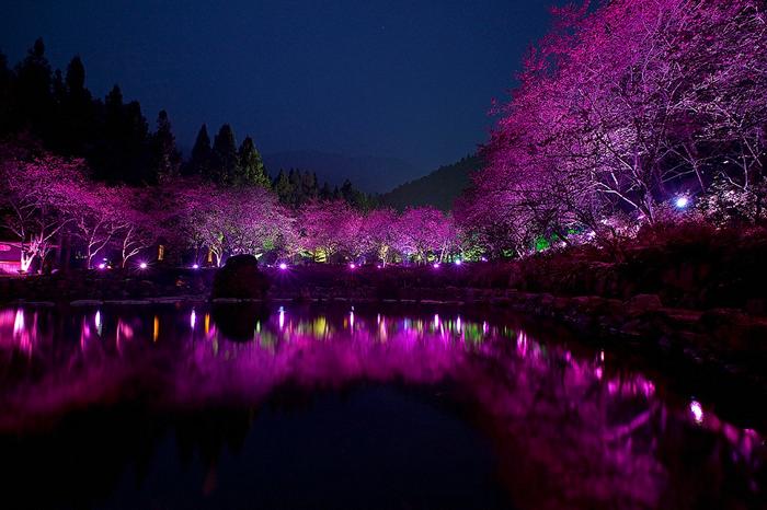 Фестиваль квітучої вишні. Дивовижне свято Cherry Blossom в Тайвані (5)