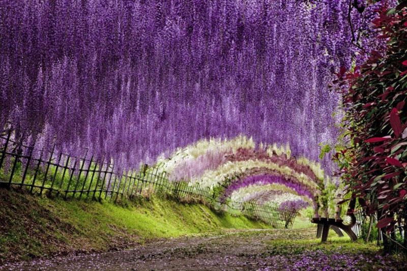 Тунель з гліциній в квітковому саду Каваті Фудзі (1)