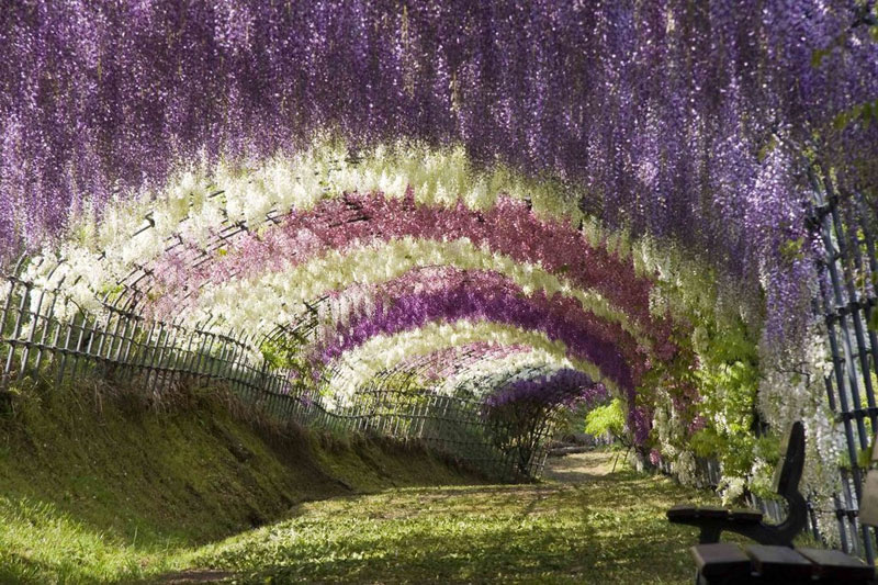 Тунель з гліциній в квітковому саду Каваті Фудзі (6)
