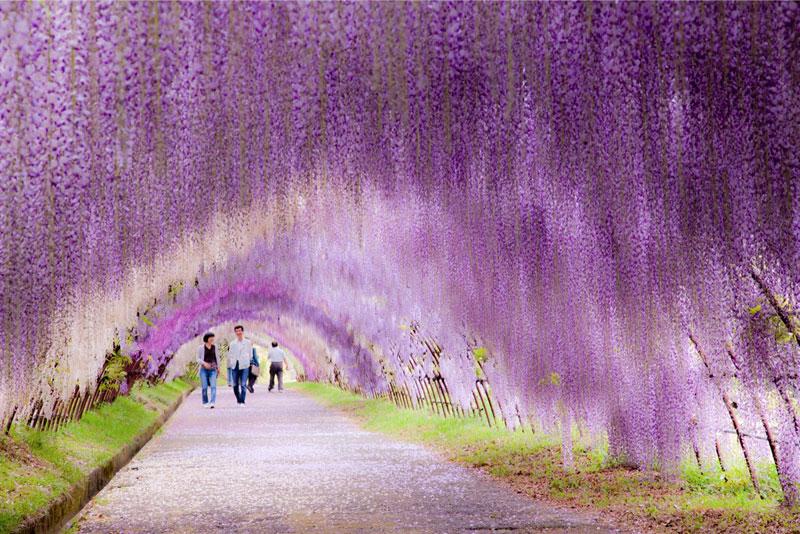 Тунель з гліциній в квітковому саду Каваті Фудзі (2)