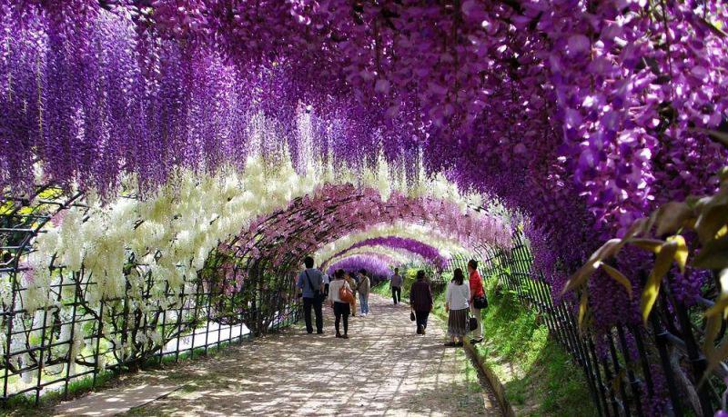Тунель з гліциній в квітковому саду Каваті Фудзі (3)