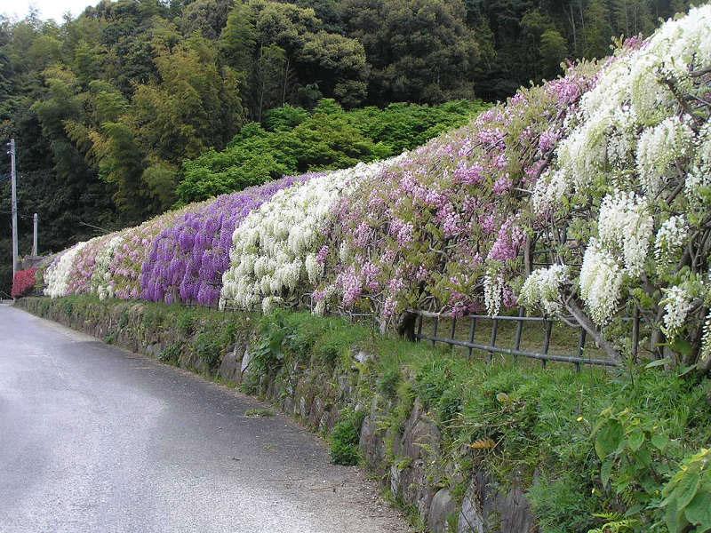 Тунель з гліциній в квітковому саду Каваті Фудзі (4)