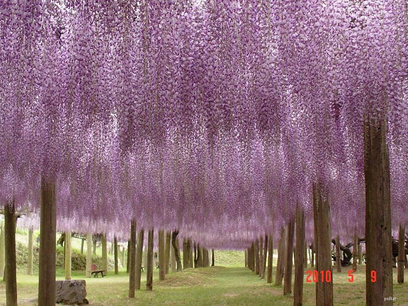 Тунель з гліциній в квітковому саду Каваті Фудзі (5)