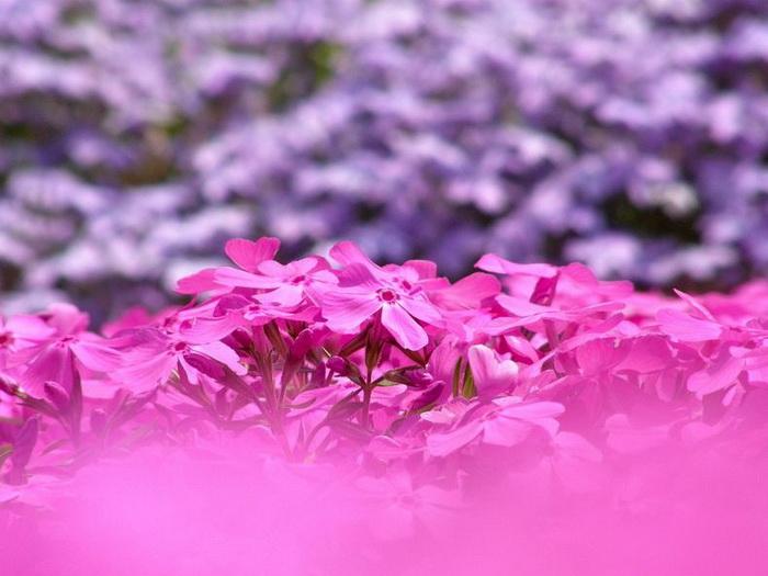 Весна в рожевих фарбах: квітучий парк Хіцужіяма (1)