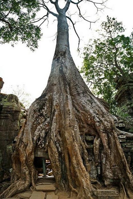 Симбіоз лісу і творіння людини: монастирський комплекс Та-Прохм (4)