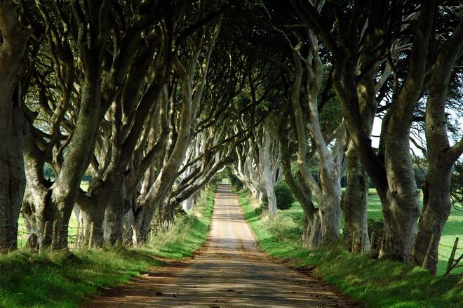 Химерний тунель Букова Алея, або Темна Алея (Dark Hedges) в Ірландії (фото) (3)