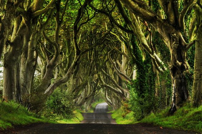 Химерний тунель Букова Алея, або Темна Алея (Dark Hedges) в Ірландії (фото) (5)