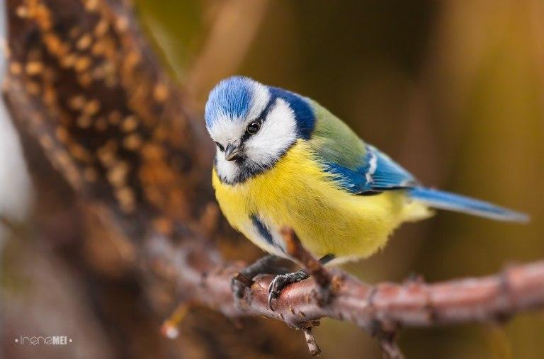 Патріотична синичка (Фото Irene Mei)