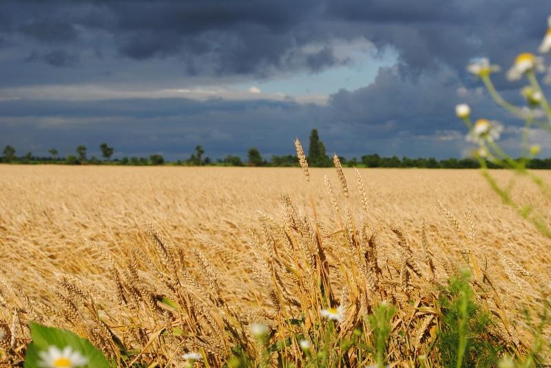 Літнє українське поле