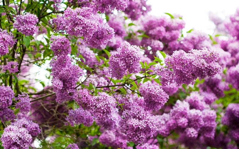 lilac-wallpaper-20183-20692-hd-wallpapers