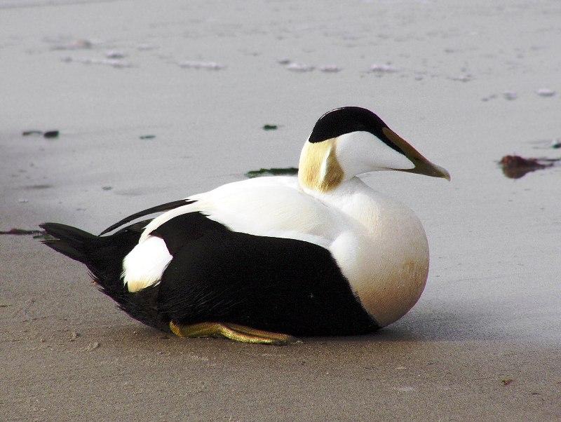 Морська качка пухівка, що зустрічається на острові