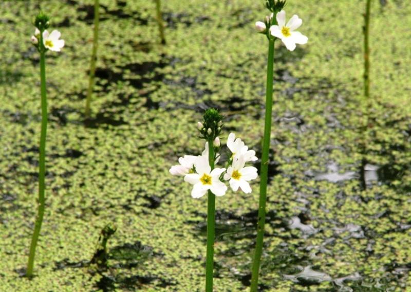 Болотяні квіти фото: jarkokozak