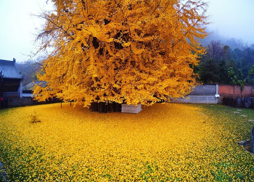 4661160-880-1448461879-1400-old-ginkgo-tree-yellow-leaves-buddhist-temple-china-1