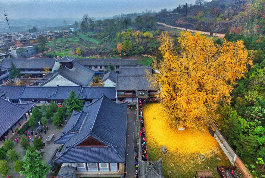 4661210-880-1448461879-1400-old-ginkgo-tree-yellow-leaves-buddhist-temple-china-2