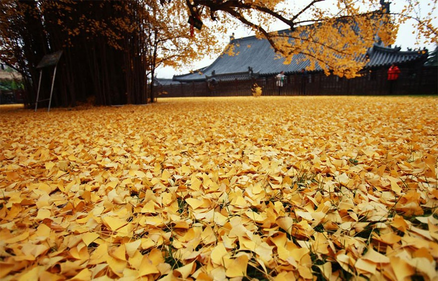 4661260-880-1448461879-1400-old-ginkgo-tree-yellow-leaves-buddhist-temple-china-3