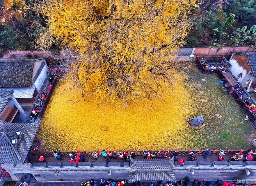 4661310-880-1448461879-1400-old-ginkgo-tree-yellow-leaves-buddhist-temple-china-5