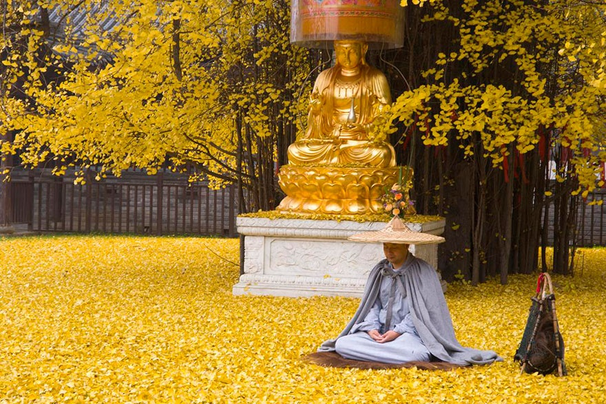 4661360-880-1448461879-1400-old-ginkgo-tree-yellow-leaves-buddhist-temple-china-6