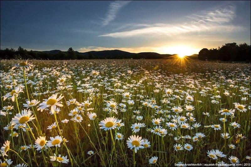 Ромашкове поле у Криму фото: Сергій Анашкевич