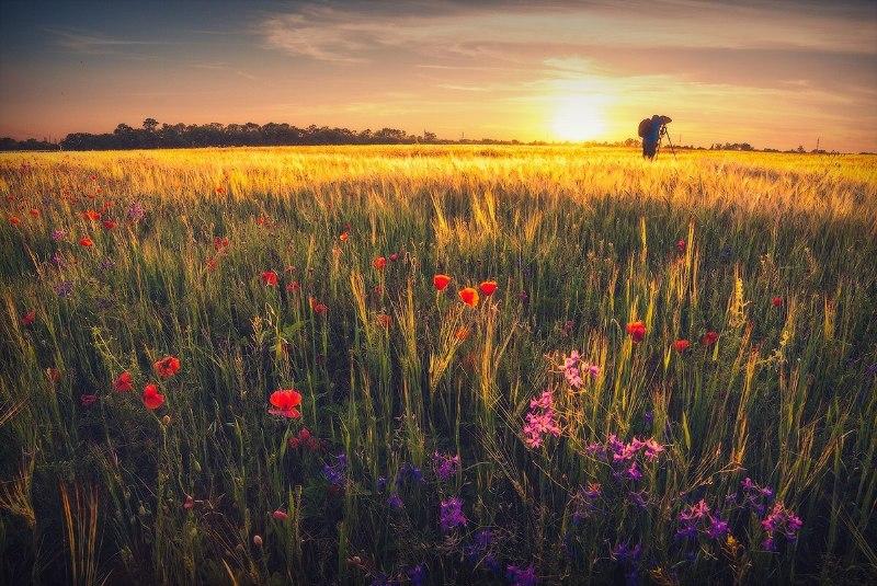 У пшеничному полі фото: Віталій Башкатов