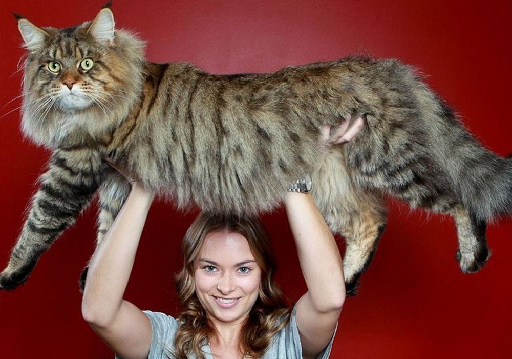 Руперт, гігантський кіт породи мейн-кун