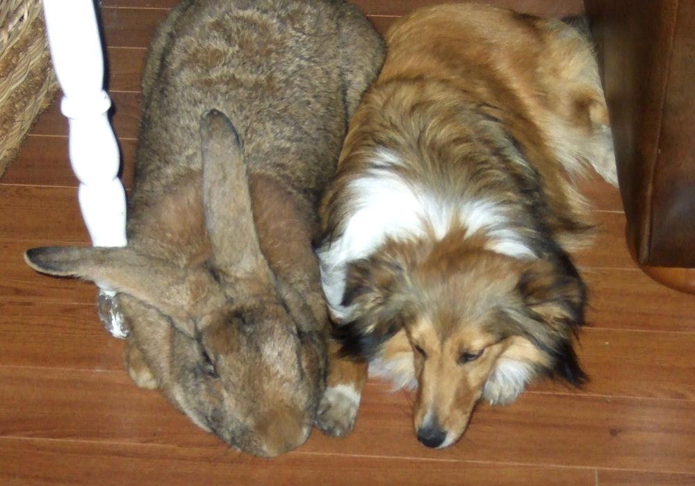 Кролик породи фландр (бельгійський велетень)